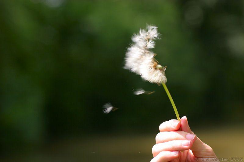 Dandelion_blowing_in_wind_1